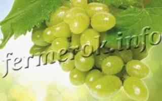 Виноград тимур описание сорта фото отзывы