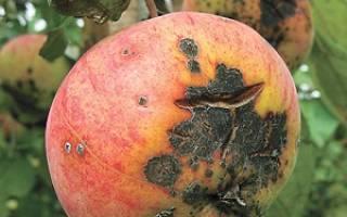 Парша на яблоне фото описание и лечение