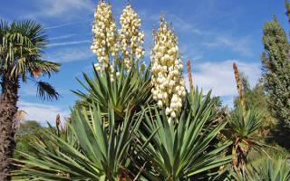 Юкка садовая посадка и уход фото размножение цветение