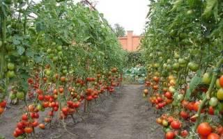 Высокорослые помидоры лучшие сорта для открытого грунта
