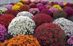 Хризантема садовая многолетняя шаровидная посадка и уход сорта + фото