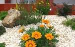 Гацания выращивание из семян когда сажать + фото