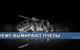 Пчелы вымирают почему что будет