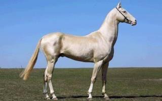 Ахалтекинская лошадь фото происхождение