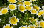 Лимнантес выращивание из семян + фото