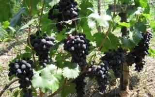 Виноград забава описание сорта фото отзывы
