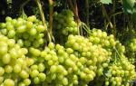 Виноград супер экстра описание сорта фото отзывы