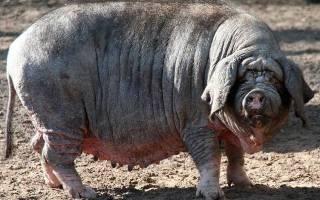 Мясные сальные беконные мясосальные породы свиней