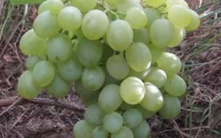 Виноград белое чудо описание сорта фото отзывы