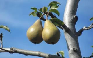 Почему не плодоносит груша что делать если не цветет 57 лет причины