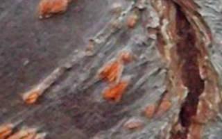 Трескается черешня кора ствол плоды причины и лечение