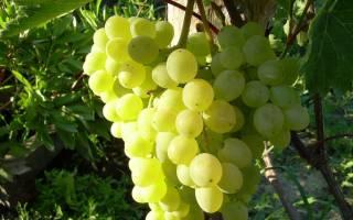 Виноград алекса описание сорта фото отзывы