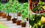 Как вырастить грушу из семечки выращивание в домашних условиях