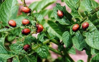 Клотиамет от колорадского жука отзывы