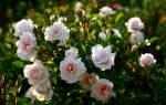 Кустовая роза посадка и уход + фото