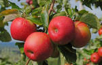 Лучшие сорта яблонь для подмосковья