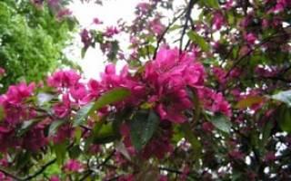 Яблоня недзвецкого описание + фото