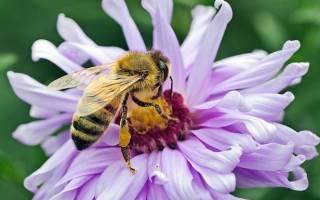 Медоносная пчела породы содержание фото