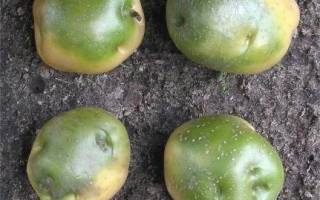 Почему зеленеет картофель при хранении
