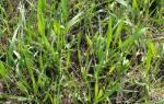 Пырей ползучий как избавиться от сорняка
