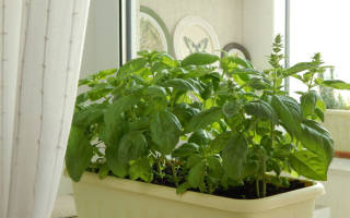 Базилик на подоконнике выращивание из семян зимой в домашних условиях