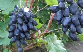 Виноград велик описание сорта фото отзывы