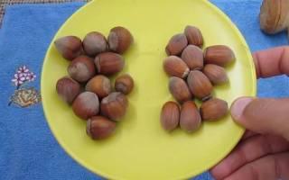 Как растет фундук как выглядит как цветет фото дерева и плодов