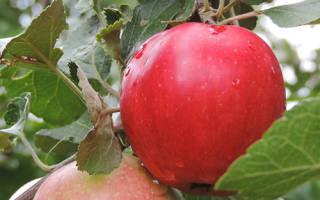 Яблоня пепин шафранный описание сорта фото отзывы
