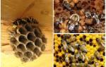 Шмель и пчела отличия