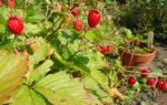 Вьющаяся клубника уход и выращивание отзывы