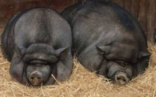 Вьетнамские свиньи разведение уход питание+ фото отзывы