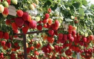 Выращивание клубники в домашних условиях круглый год