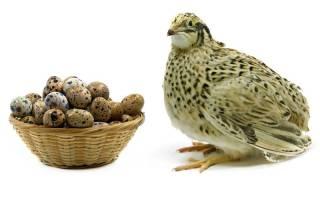 Лучшие яичные и мясные породы перепелов фото + описание