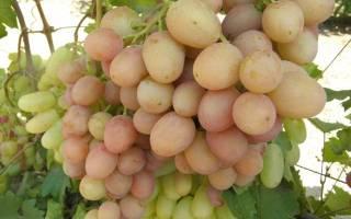 Виноград гурман ранний (новочеркасский красный) описание сорта фото отзывы