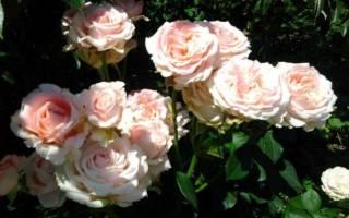 Роза дезире чайногибридная описание сорта фото отзывы