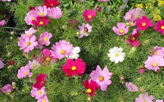 Космея выращивание из семян когда сажать