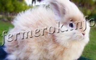 Ангорский кролик фото содержание уход
