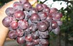 Виноград заря несветая описание сорта фото отзывы