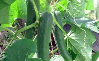 Огурец зозуля описание технология выращивания и уход