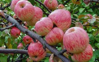 Яблоня мельба описание фото отзывы