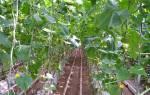 Агротехника выращивания огурцов в теплице