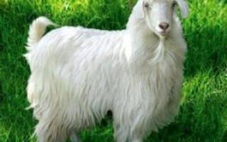 Ангорские козы описание породы фото содержание и разведение