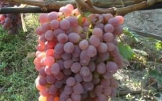 Виноград тайфи розовый описание сорта фото отзывы