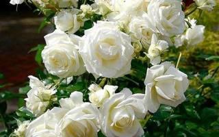Роза плетистая белая сорта описание + фото