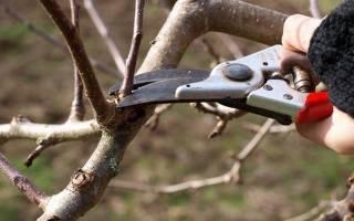 Обрезка сливы осенью сроки схема подкормка уход подготовка к зиме