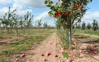 Как укрыть яблоню на зиму на урале