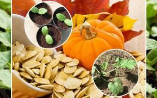 Как отличить рассаду кабачков и тыквы