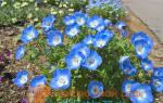 Немофила выращивание из семян + фото