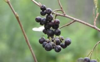 Как размножить черноплодную рябину черенками отводками делением куста видео