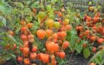 Физалис овощной выращивание и уход фото как отличить от ягодного